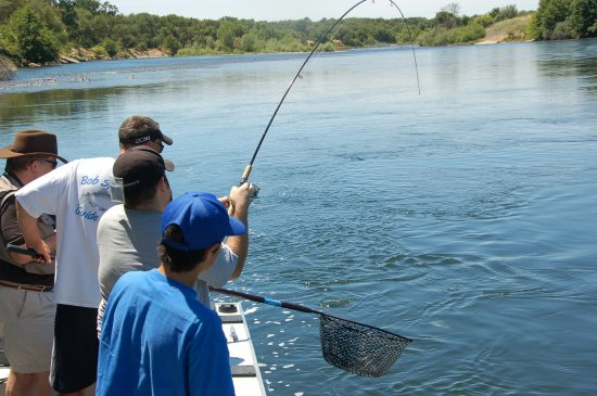More fun fishing for shad bob sparre fishing guide services for American river fishing