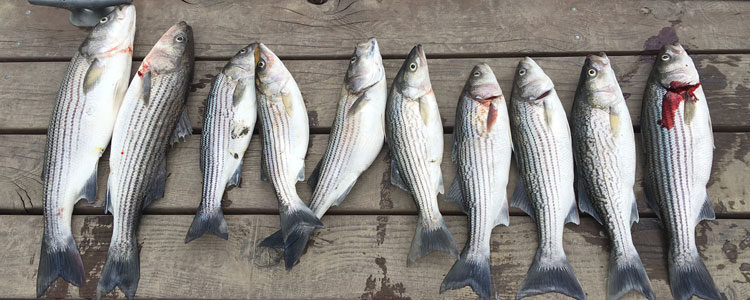 striper-fishing-sacramento